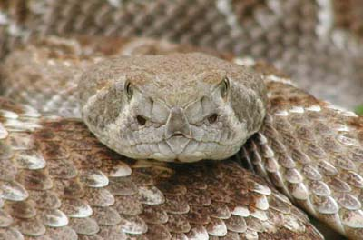 Western diamondback rattlesnake venom - photo#24